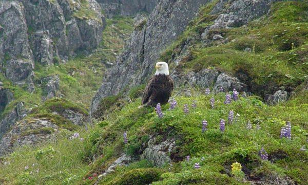 Wildlife-Olga-Creek-Lodge-Alaska-Wildlife-Vacation04