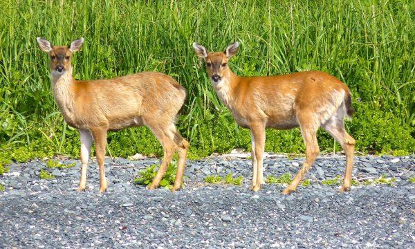 Wildlife-Olga-Creek-Lodge-Alaska-Wildlife-Vacation12