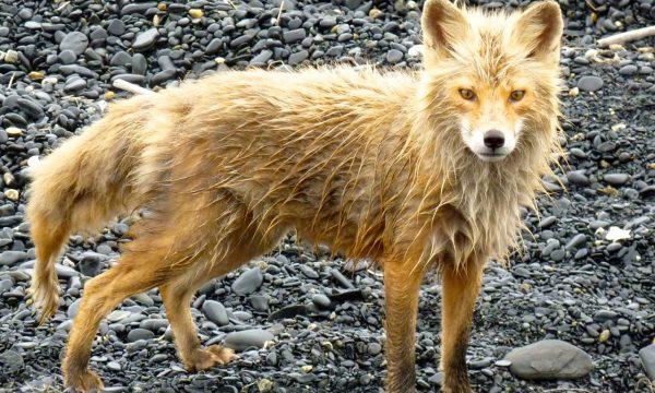 Wildlife-Olga-Creek-Lodge-Alaska-Wildlife-Vacation13