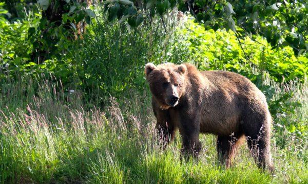 Wildlife-Olga-Creek-Lodge-Alaska-Wildlife-Vacation15
