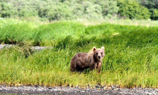 Wildlife-Olga-Creek-Lodge-Alaska-Wildlife-Vacation17