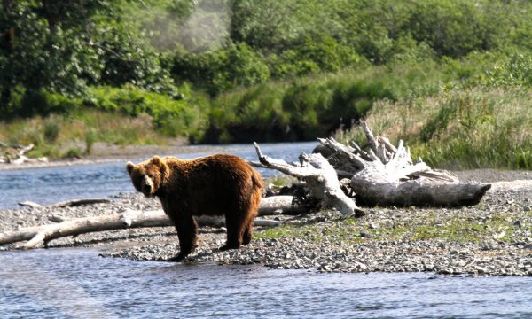 Wildlife-Olga-Creek-Lodge-Alaska-Wildlife-Vacation20